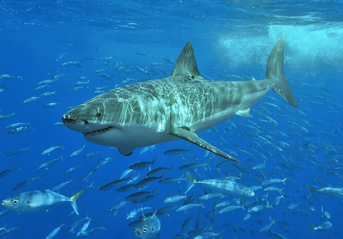 The Great White Shark is undoubtedly the most famous shark of all- but is it the deadliest?