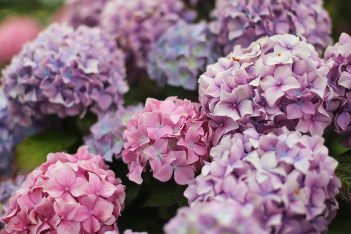 Hydrangeas not blooming? Here are a few common reasons why (and suggestions on what to do about it).