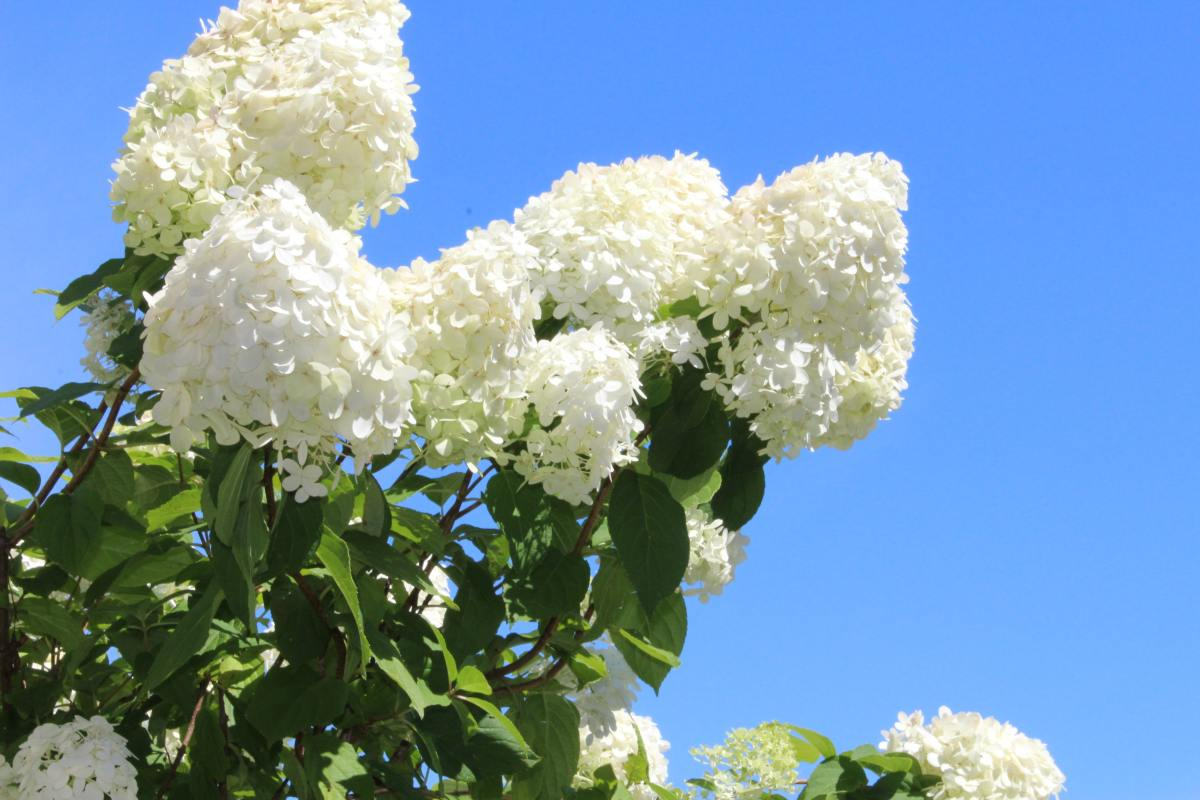 Most hydrangeas need at least 6 hours of sunlight a day, but others—such as this Limelight hydrangea—crave more.