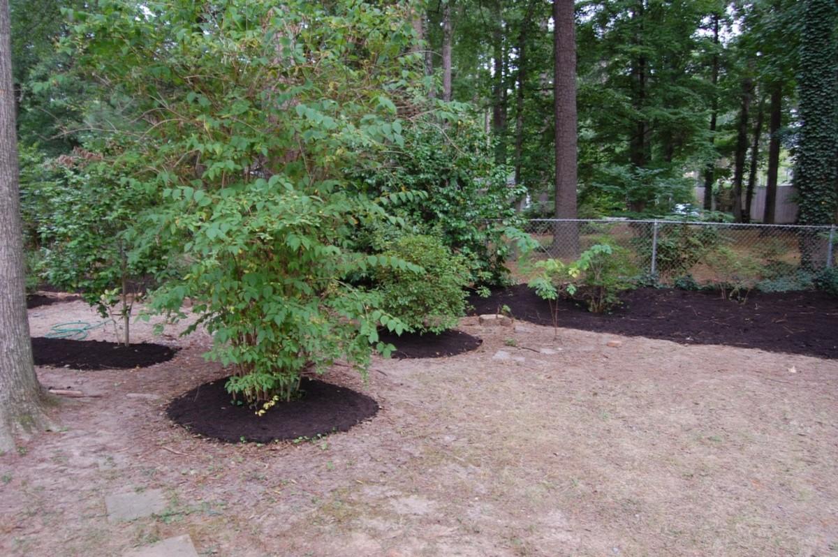 Mulching around shrubs