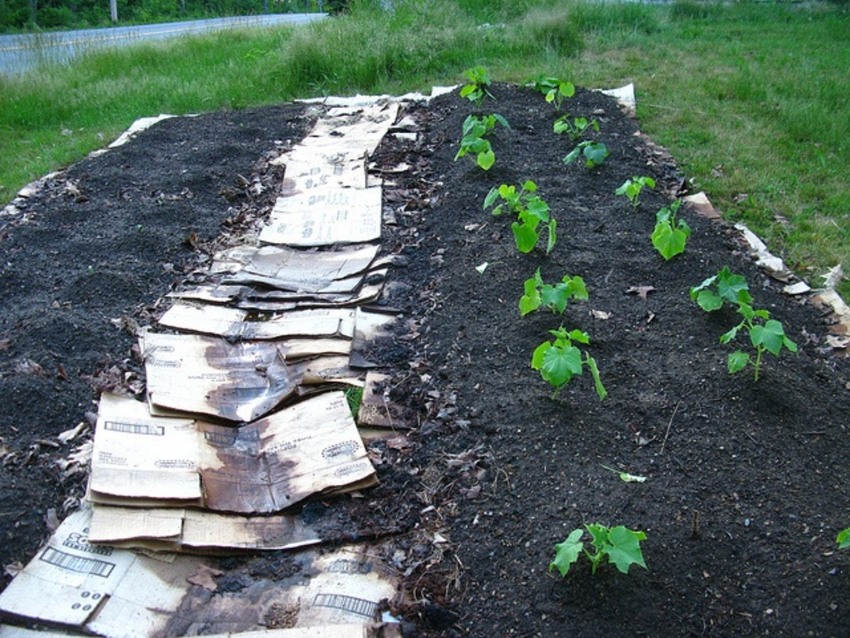 A cardboard box path avoids weeding