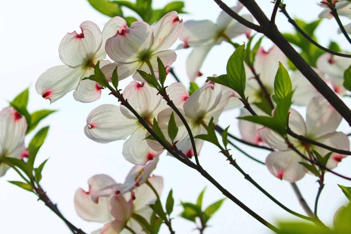 Some tender loving care can bring your well-established dogwoods back to life in no time.