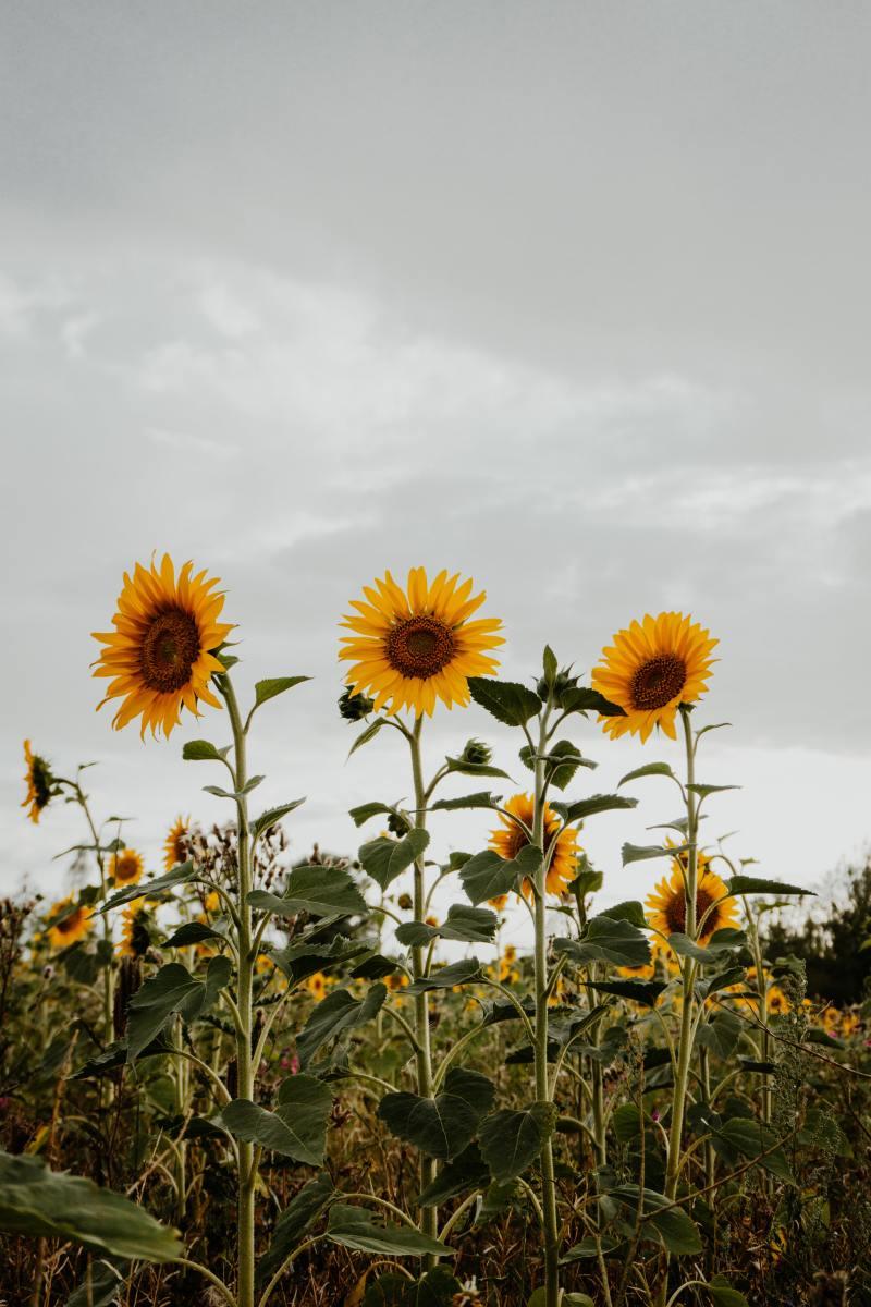 A healthy sunflower crop.