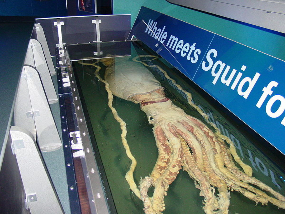 10 Rare Sightings of the Giant Squid (Incredible Video Footage)