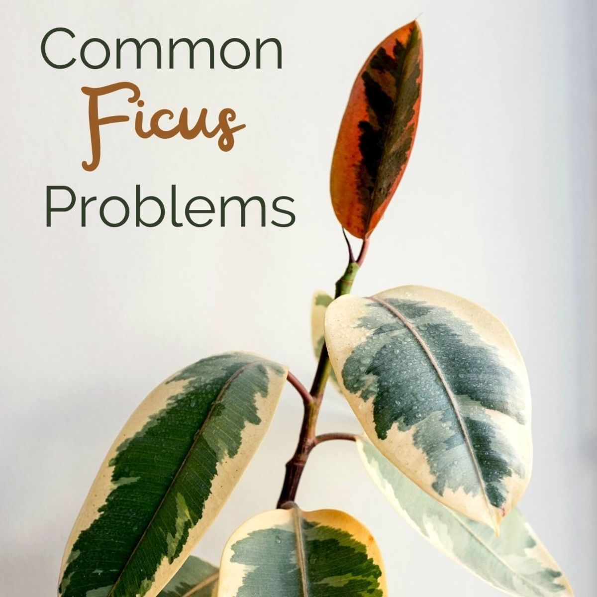 Common Ficus Tree Problems and How to Solve Them