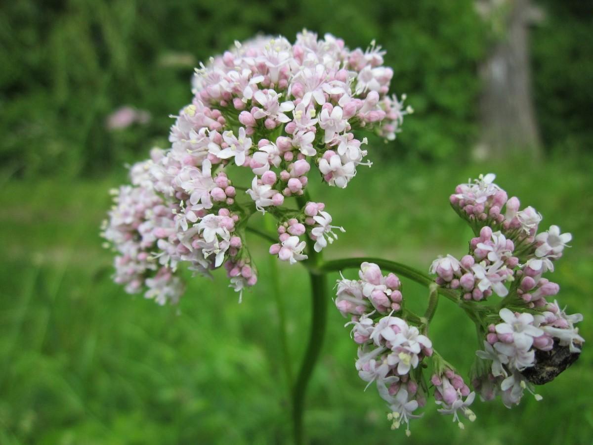 How to Grow Common Valerian (Valeriana Officinalis)
