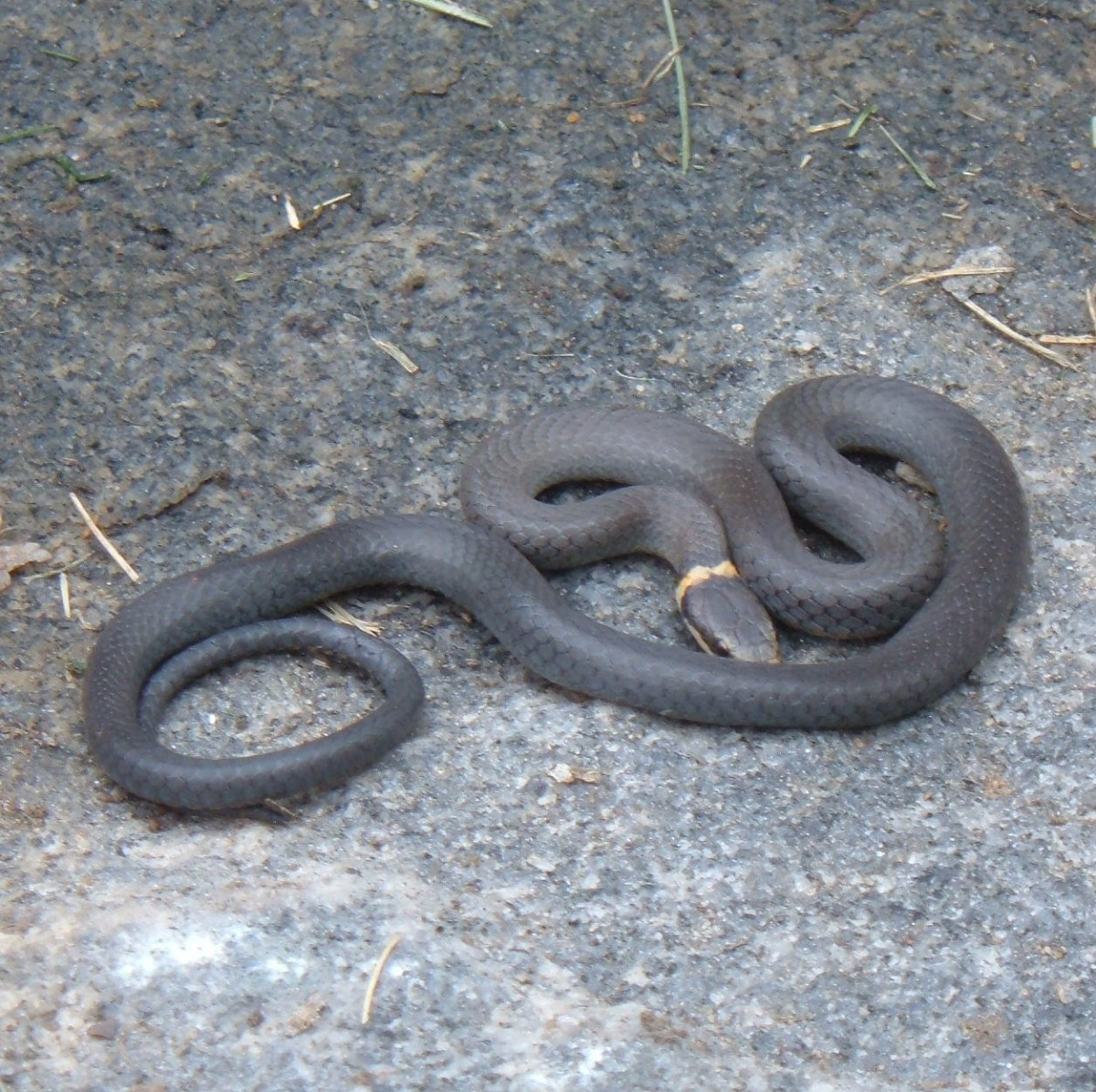 Northern Ring-neck Snake