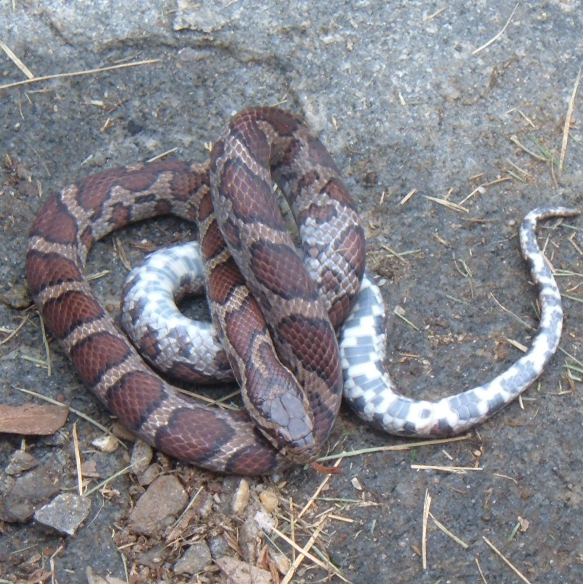 Milk Snakes have beautiful patterns. The mottled underside clearly shows this is a milk snake -- and not a poisonous copperhead