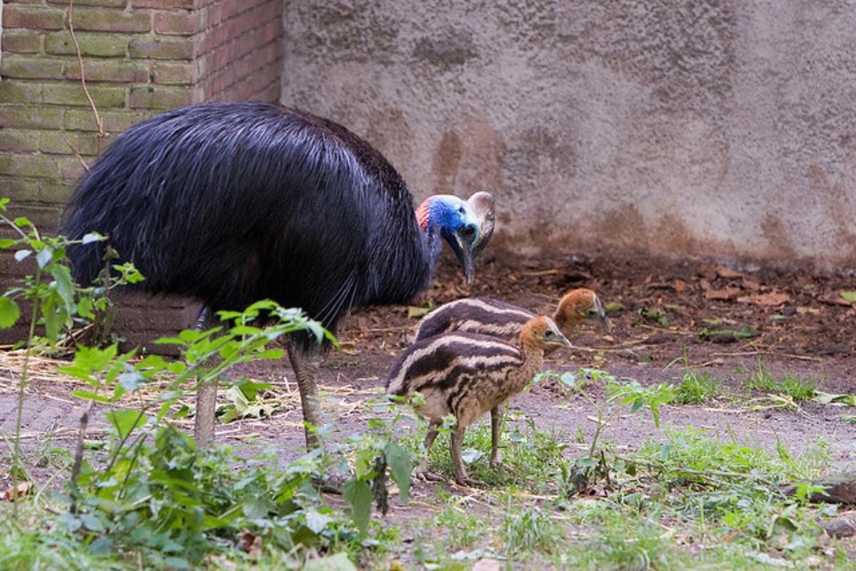 cassowary-dangerous-bird