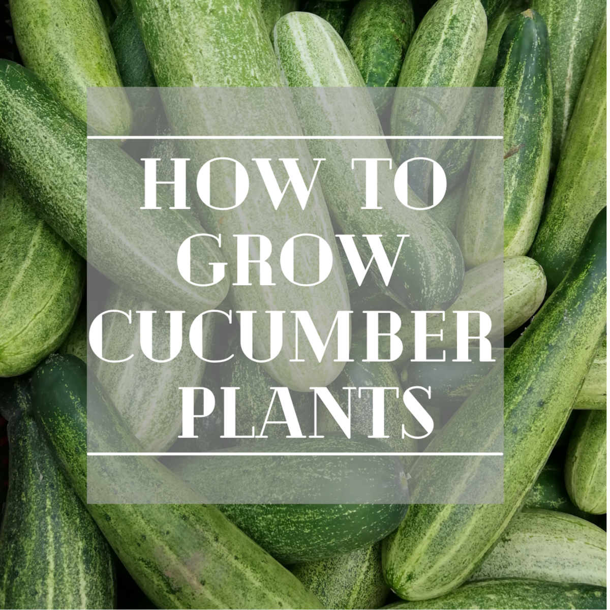 How to Grow Cucumber Plants