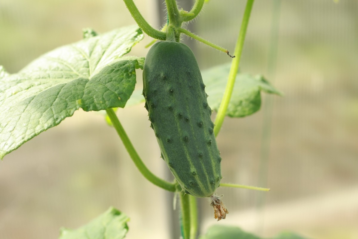Cucumber almost ready for harvest.