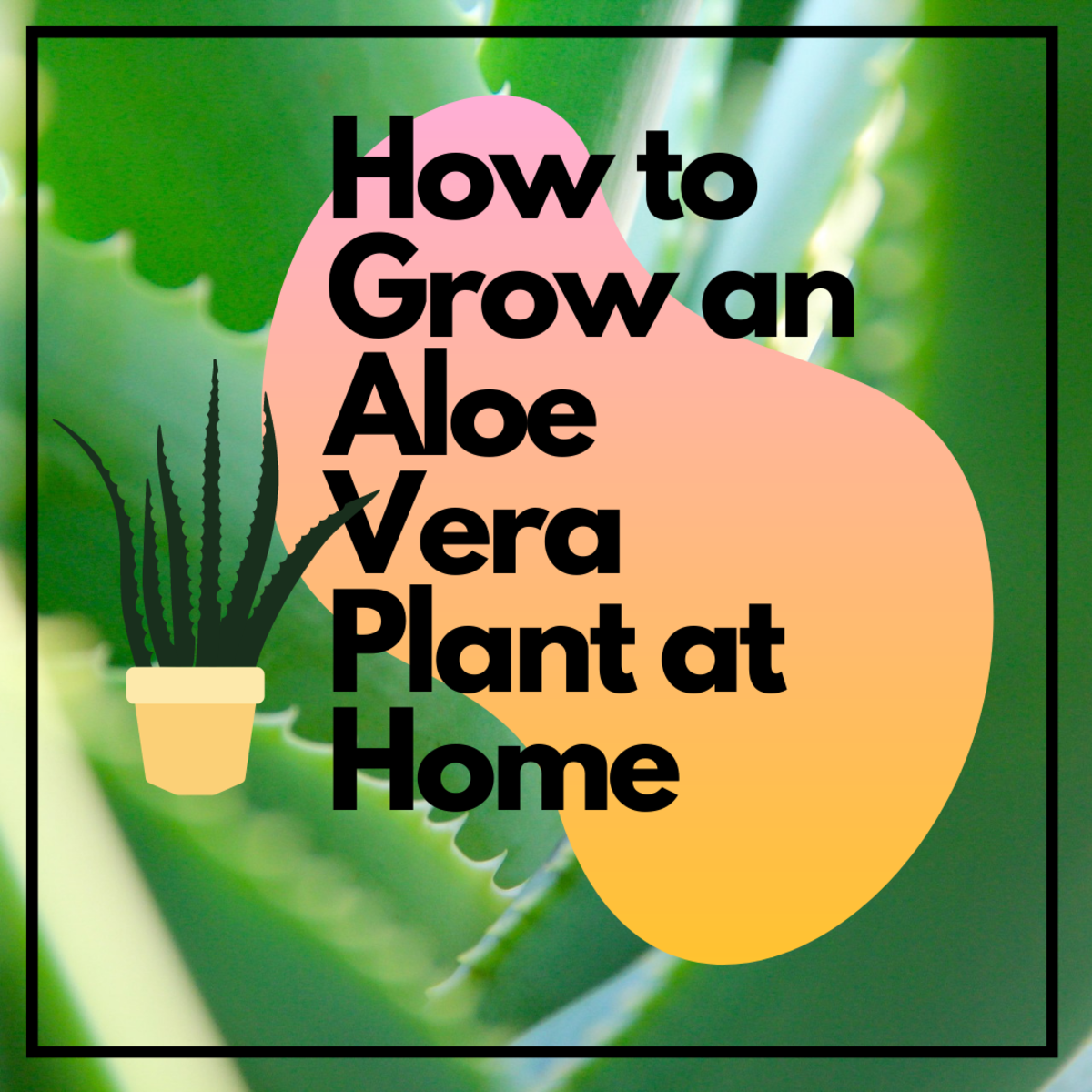 Aloe vera plants have medicinal properties and are great to have on hand at home.