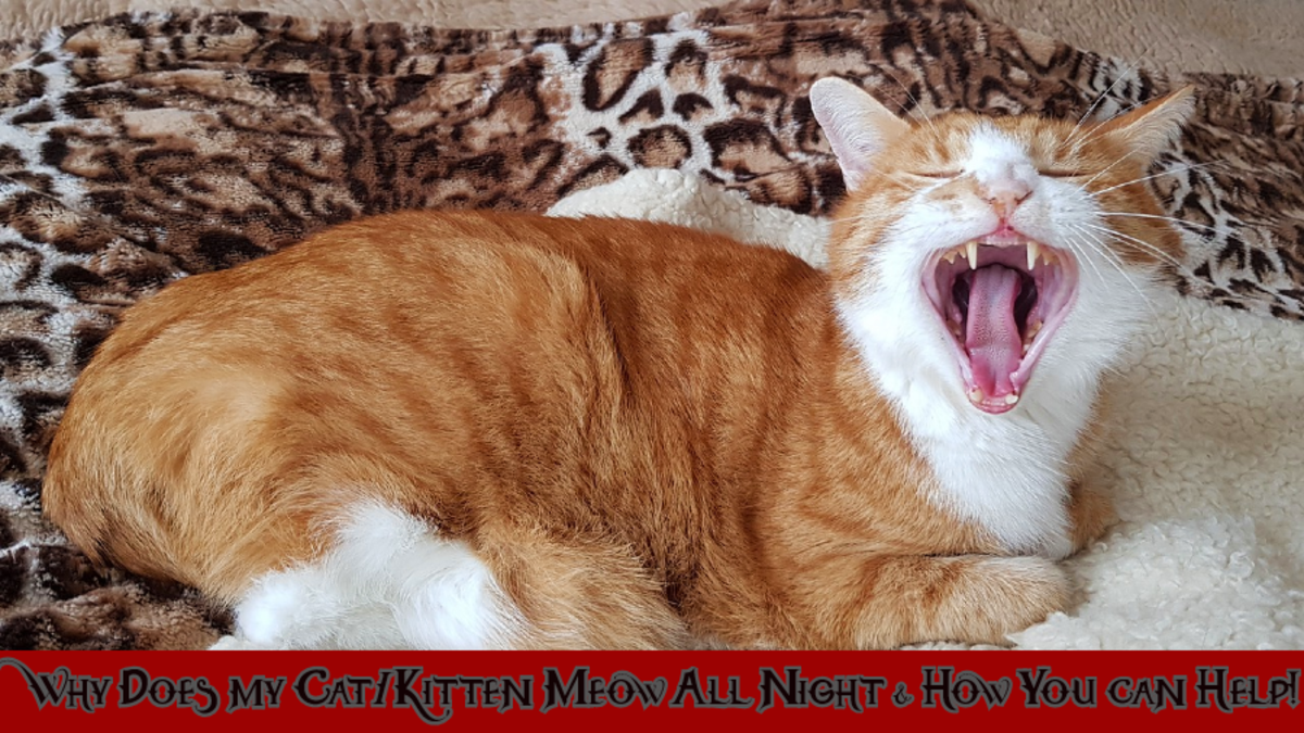 Why Does My Cat/Kitten Meow All Night & How You Can Help!
