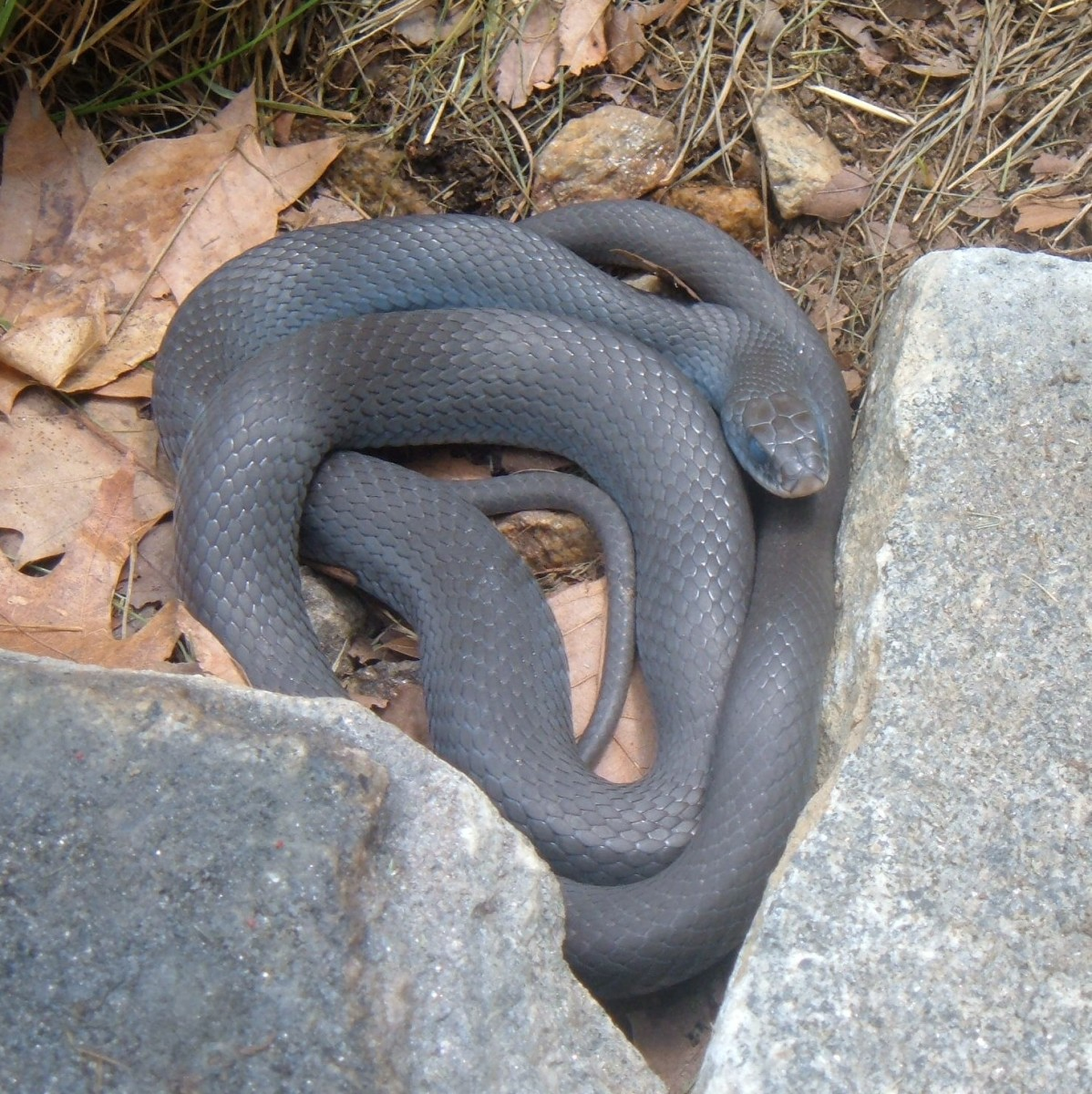This Black Racer is 5' long!