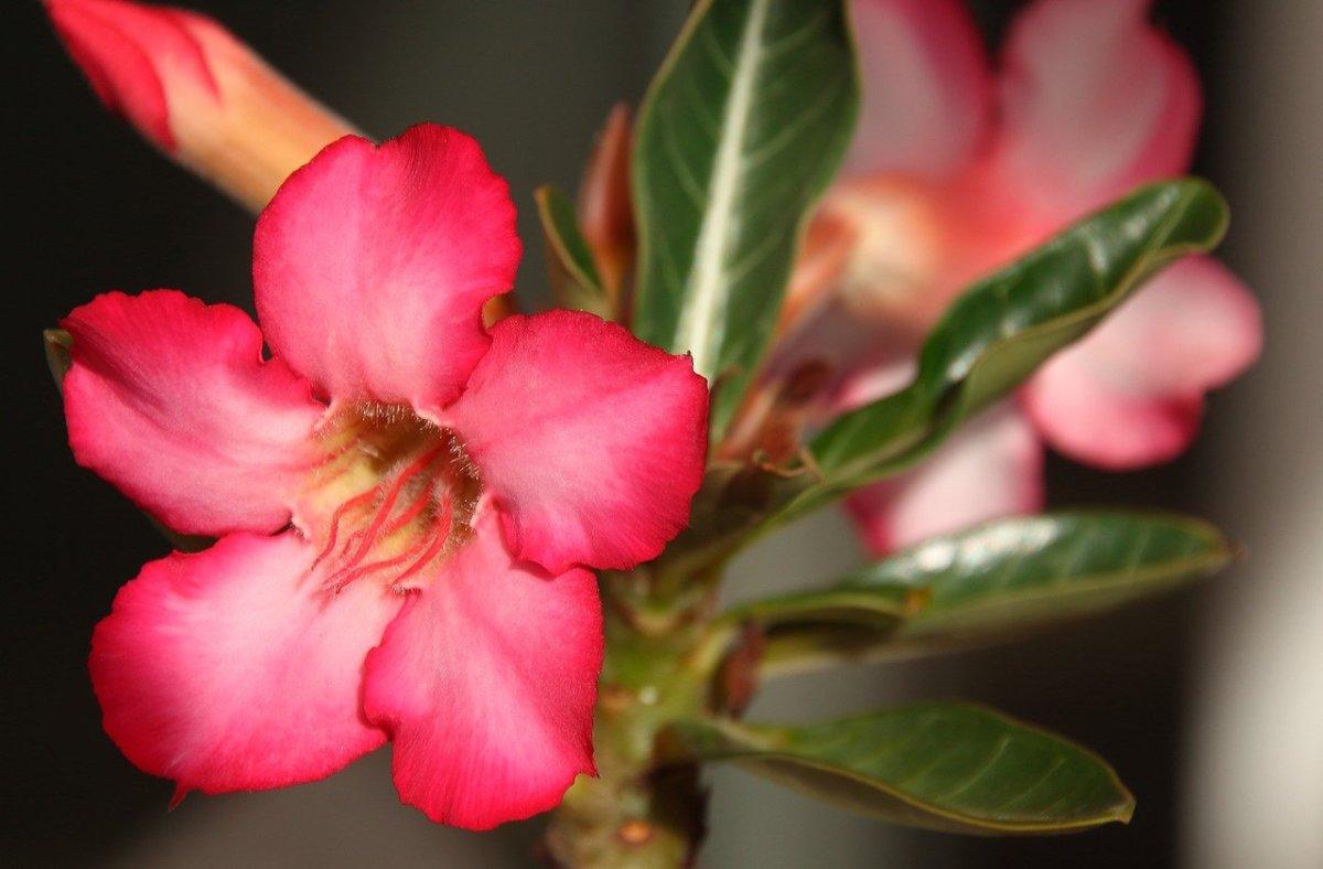 Flower of Adenium obesum