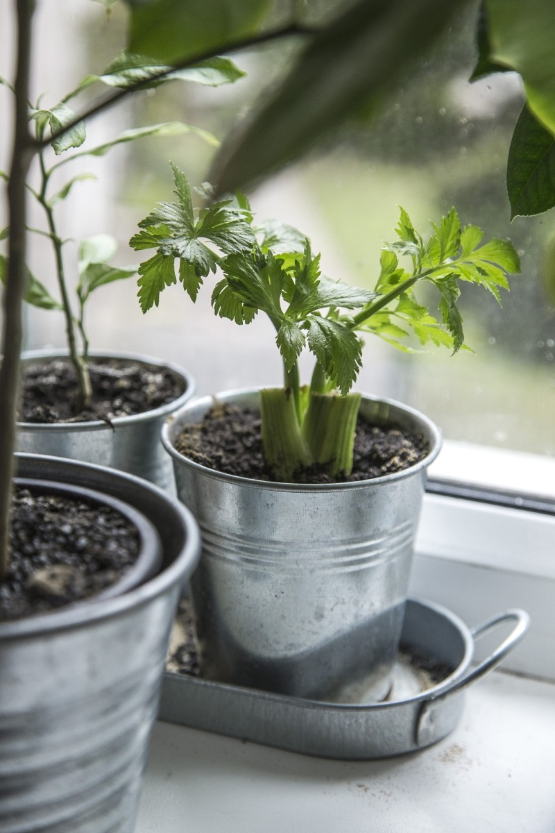 Celery is easy to grow in a container.