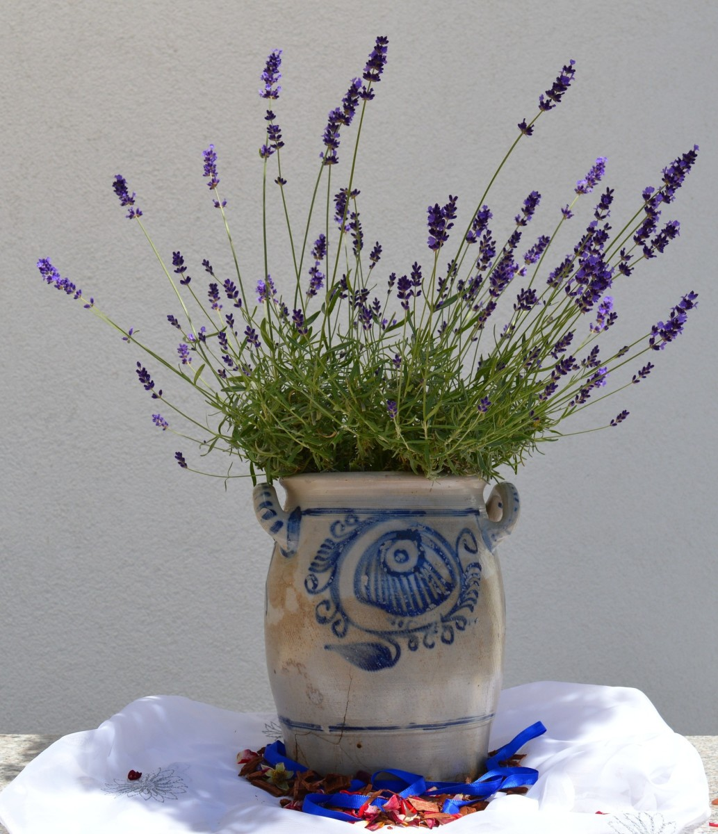 Plant lavender in a decorative pot.
