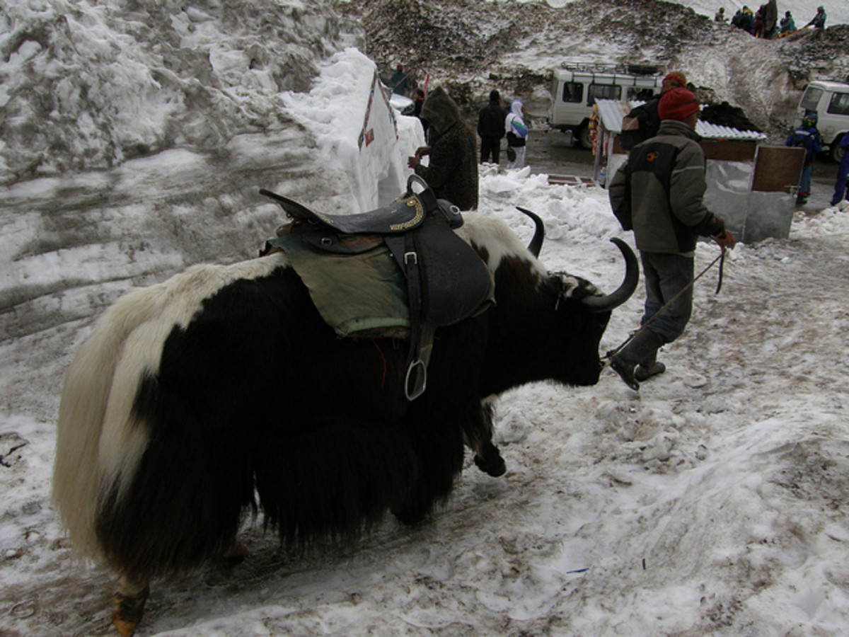 Tourist attraction - Yak rides