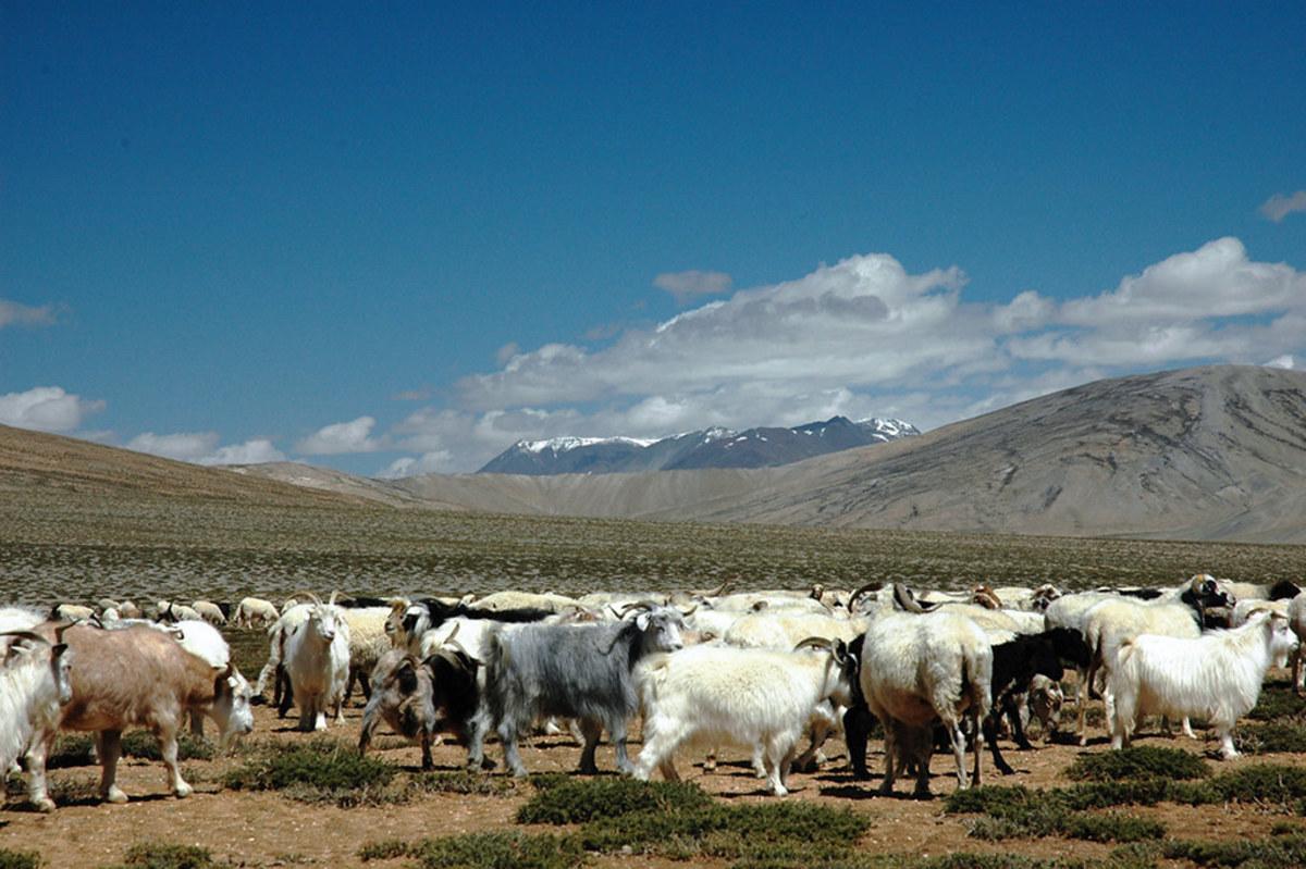 Himalayan Herd