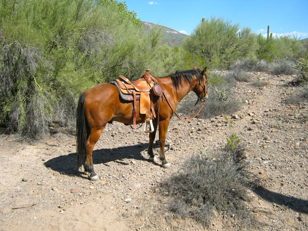 Although the angle could be better, this shows the trail horse standing politely, untied, on the trail.  The backdrop is good and the horse is shown in use, which compensates for his poor grooming.