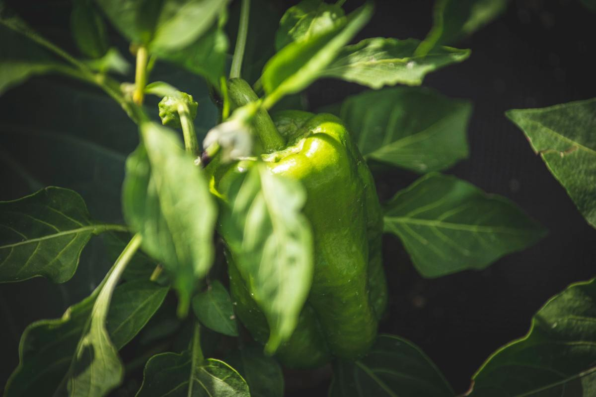 How to hand-pollinate a pepper plant.