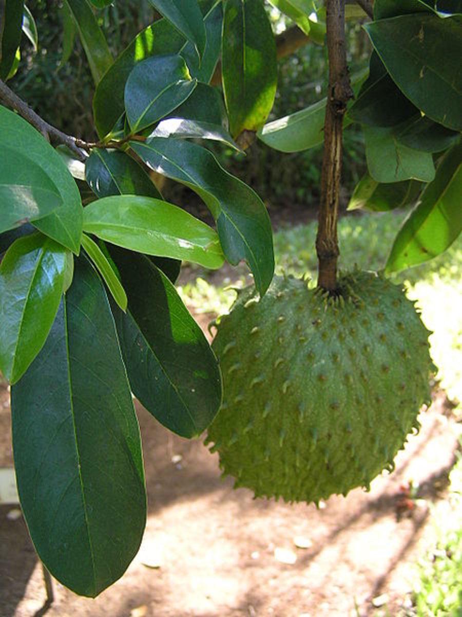 Annona muricata (Jamaican soursop)