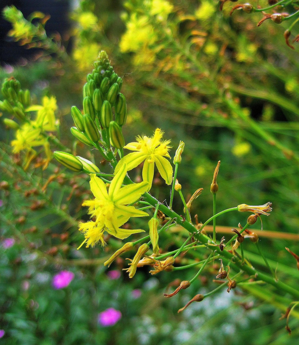 The African Bulbine is a succulent with yellow or orange flowers.