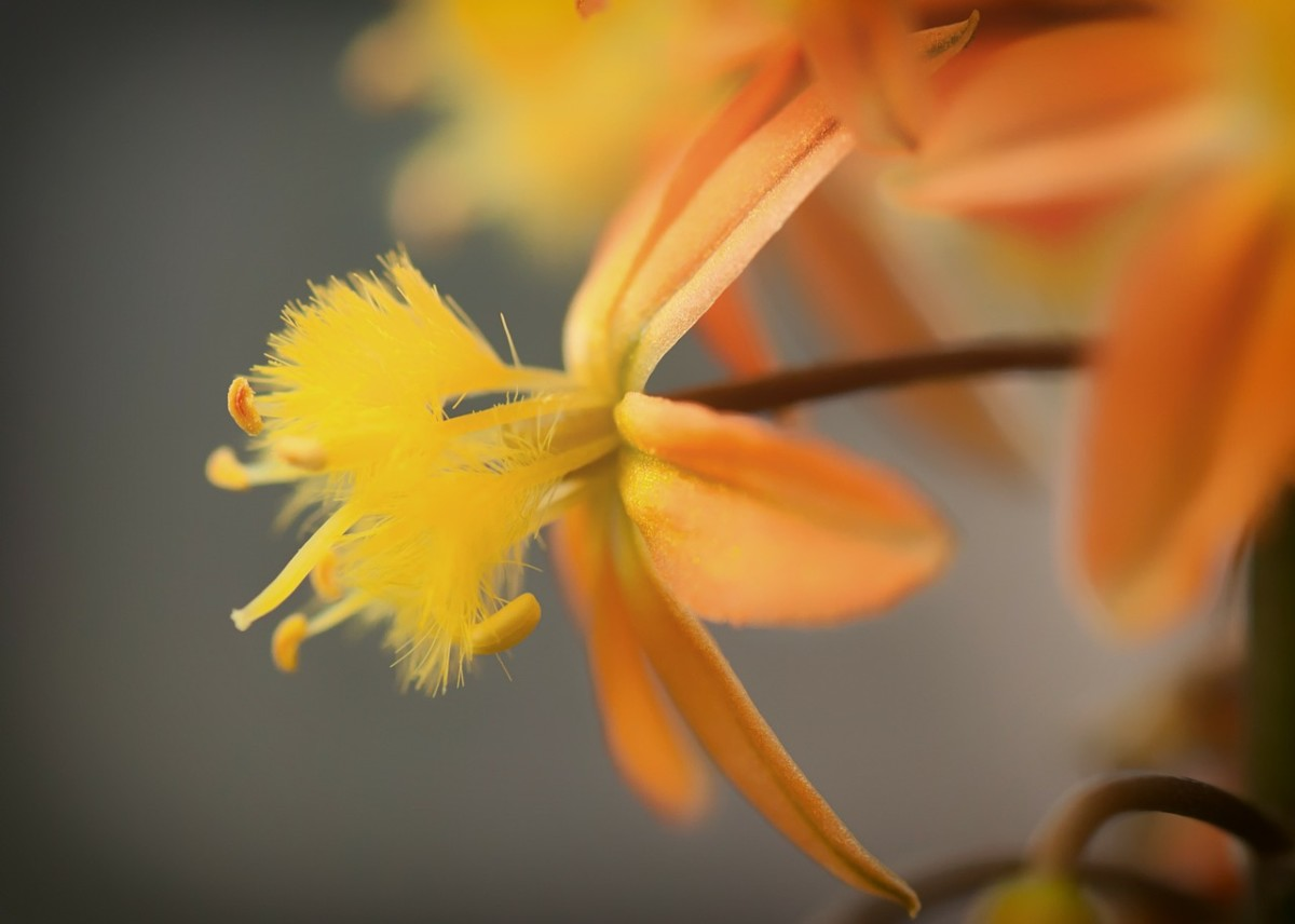 The delicate flowers of the Bulbine plant make a pretty show in the garden.