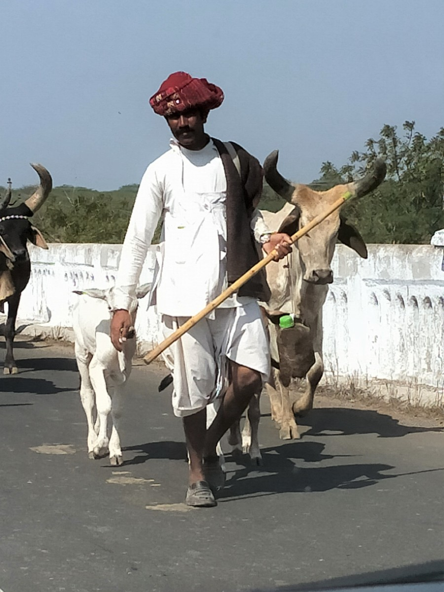 A local cowherd on the road to Koteshwar