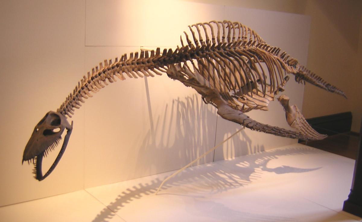 A skeleton of plesiosaurus.
