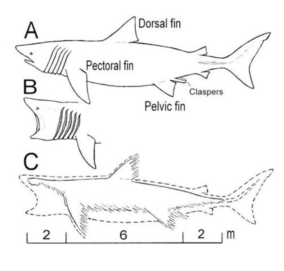 An illustration showing how a dead basking shark degrades. Source, TIME.com.