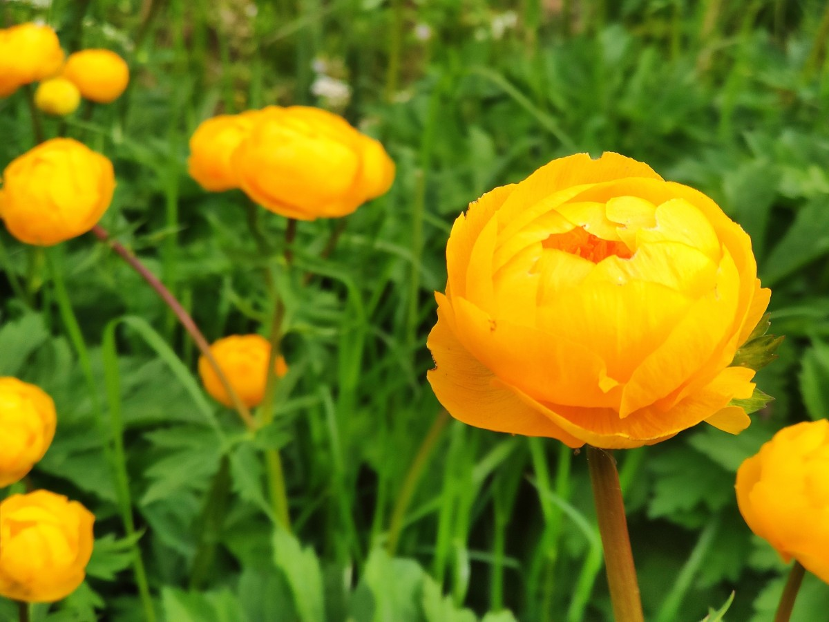 Though the Chinese globeflower—also known as the 'Golden Queen'—has a sunny appearance, it thrives in the shade.