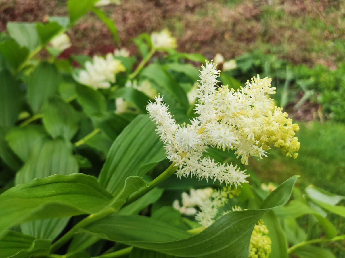 The flowers of the false Solomon's seal smell just like honey!