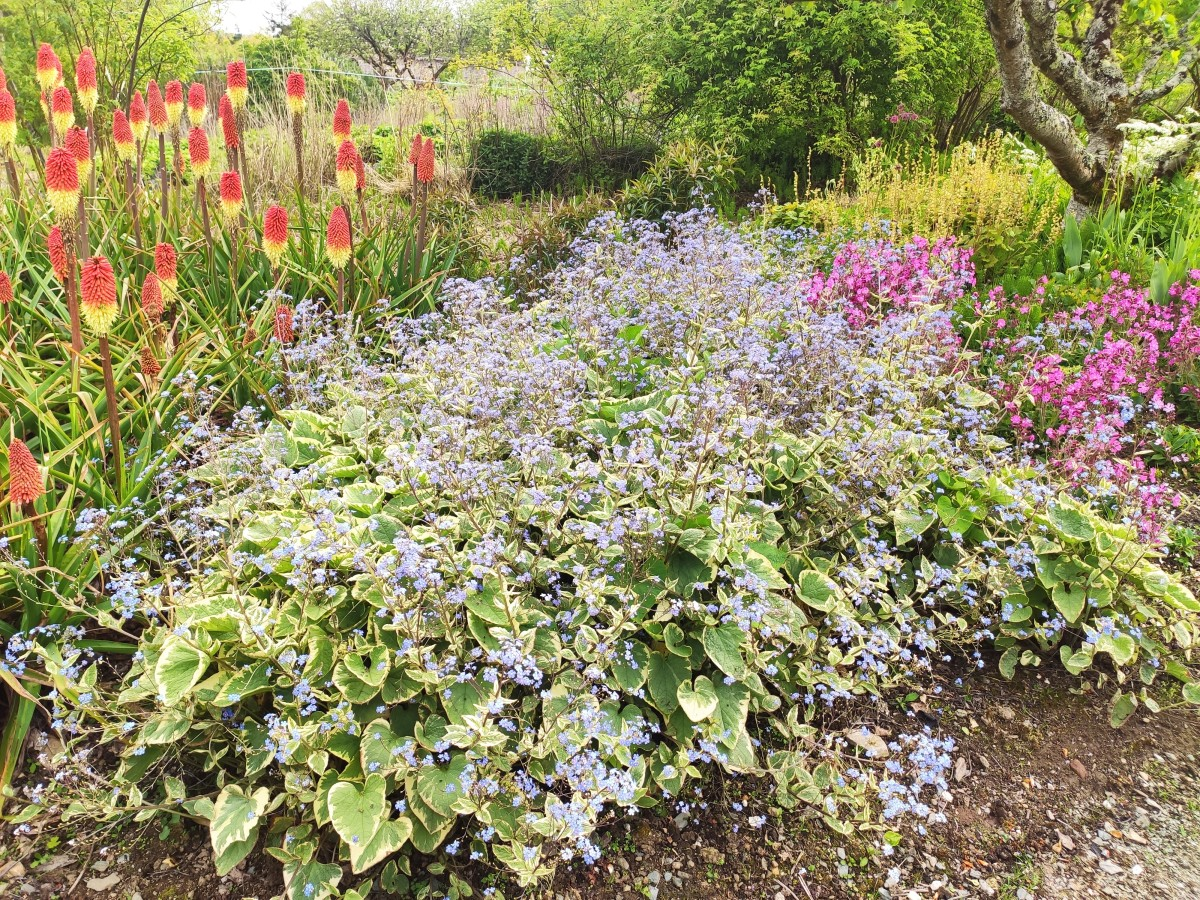 Siberian bugloss, reminiscent of forget-me-nots, is a pretty plant that can really brighten up a shady garden.