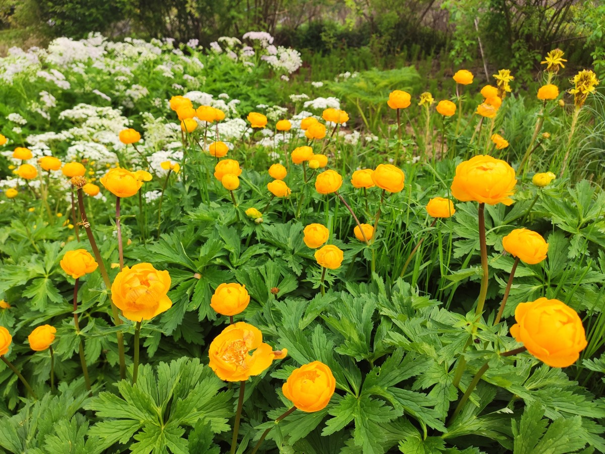 This Chinese globeflower is one of my favorite shade-loving plants. I love the way it brightens up darker corners of the garden.