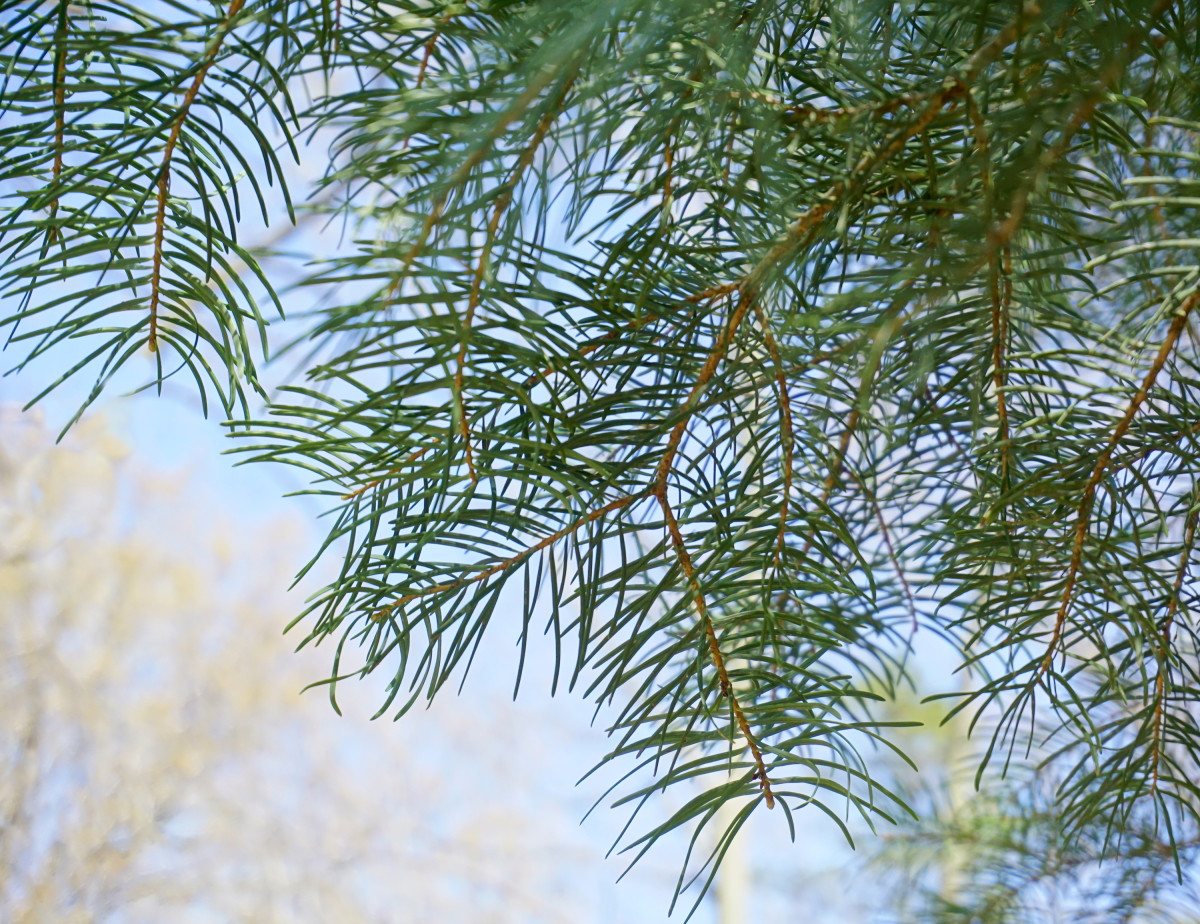 WHITE FIR TREE BRANCHES