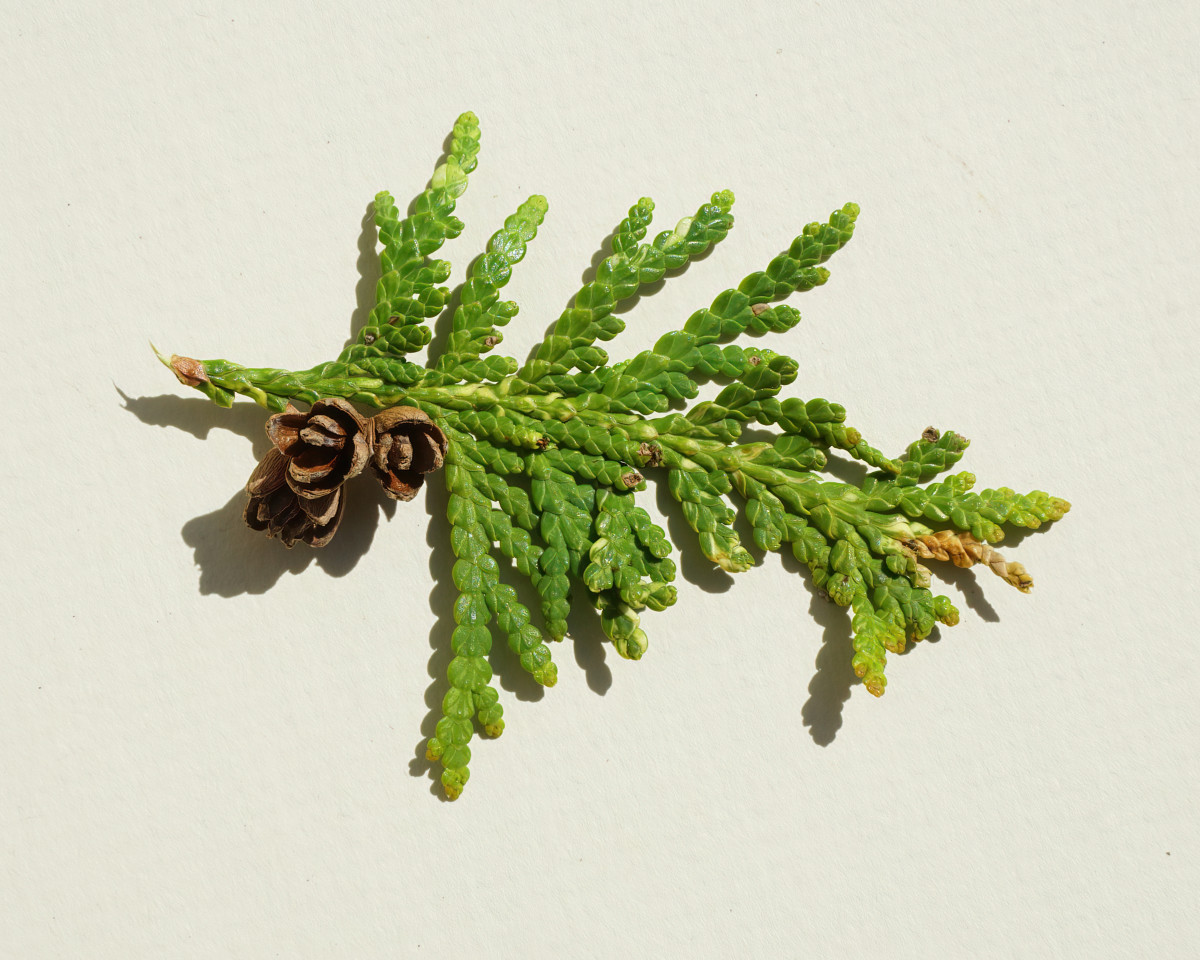 NORTHER WHITE CEDAR TREE / ARBORVITAE TREE BRANCHLET (Lies Flat)