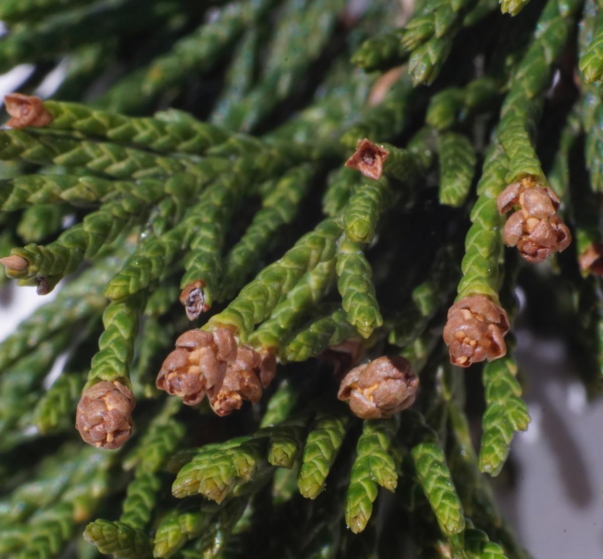 EASTERN RED CEDAR TREE POLLEN CONES (Male)