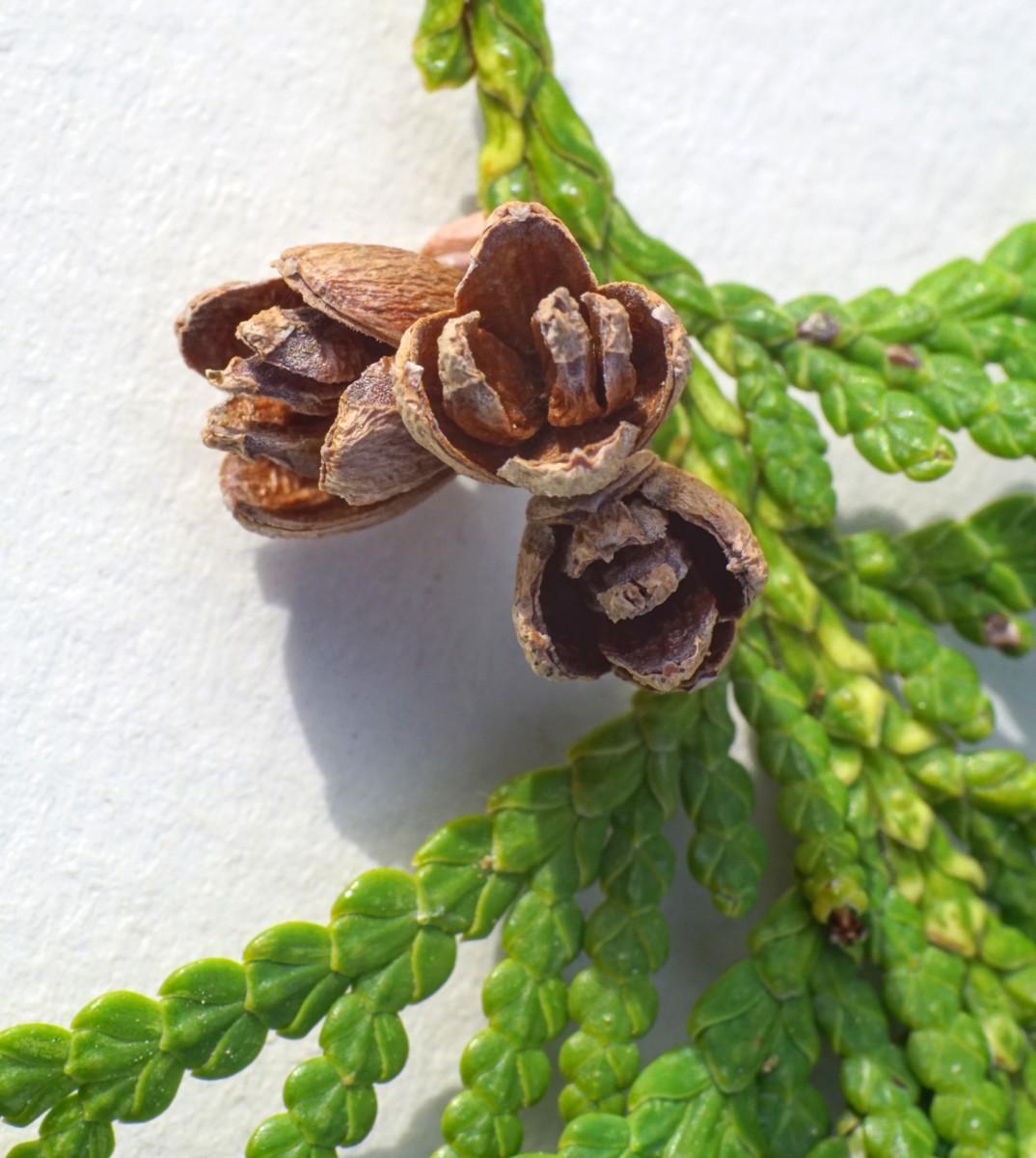 NORTHERN WHITE CEDAR TREE / ARBORVITAE TREE SEED CONES (Female)