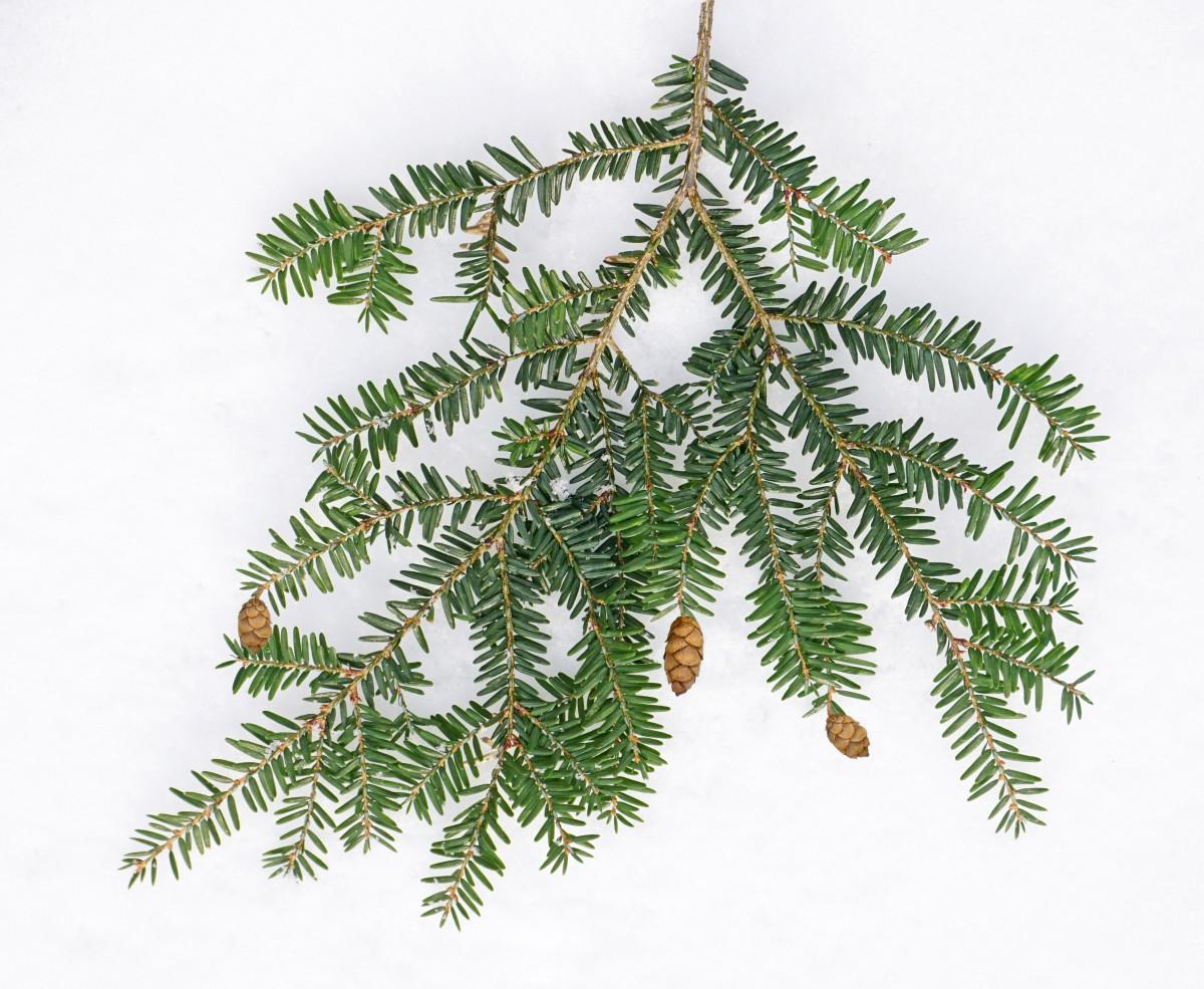 EASTERN HEMLOCK TREE  BRANCH