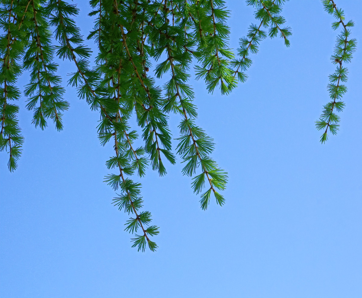 TAMARACK /  EASTERN OR AMERICAN LARCH TREE BRANCHES