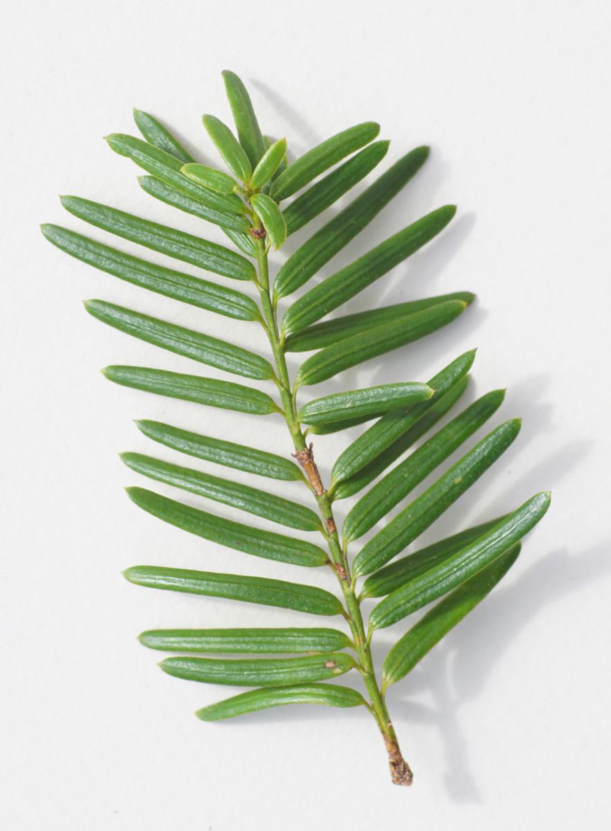 EASTERN HEMLOCK TREE LEAVES (NEEDLES)
