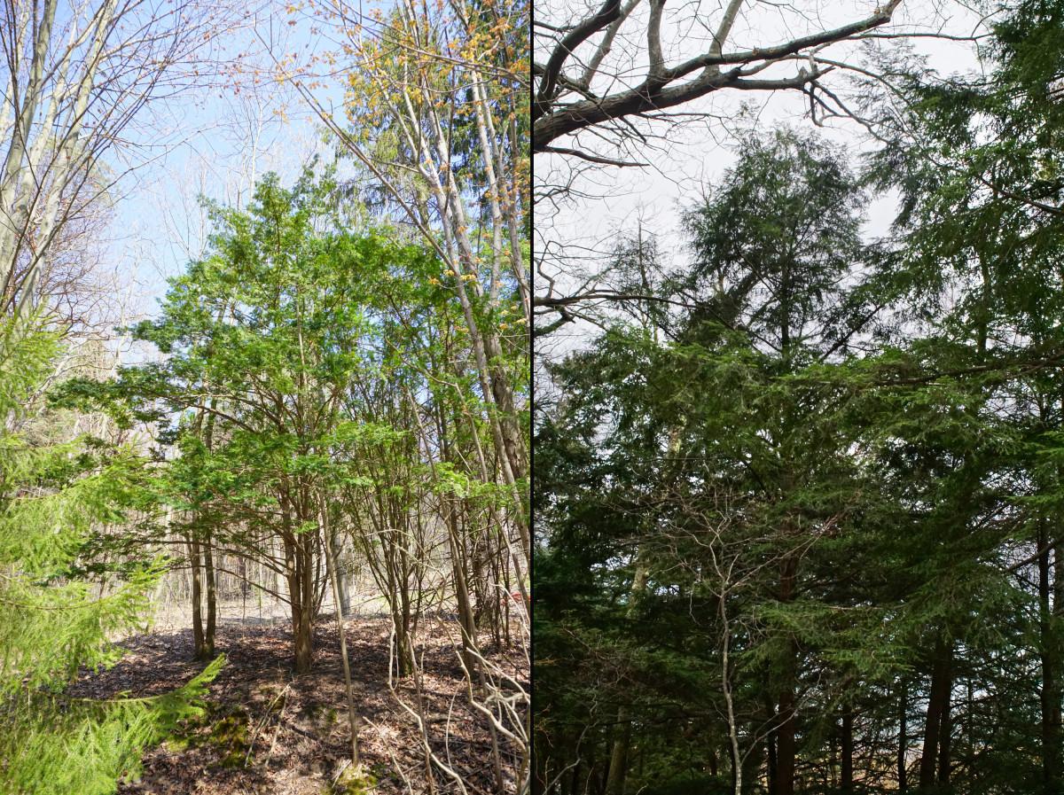 EASTERN HEMLOCK / CANADA HEMLOCK TREE (L: Young R: Mature)