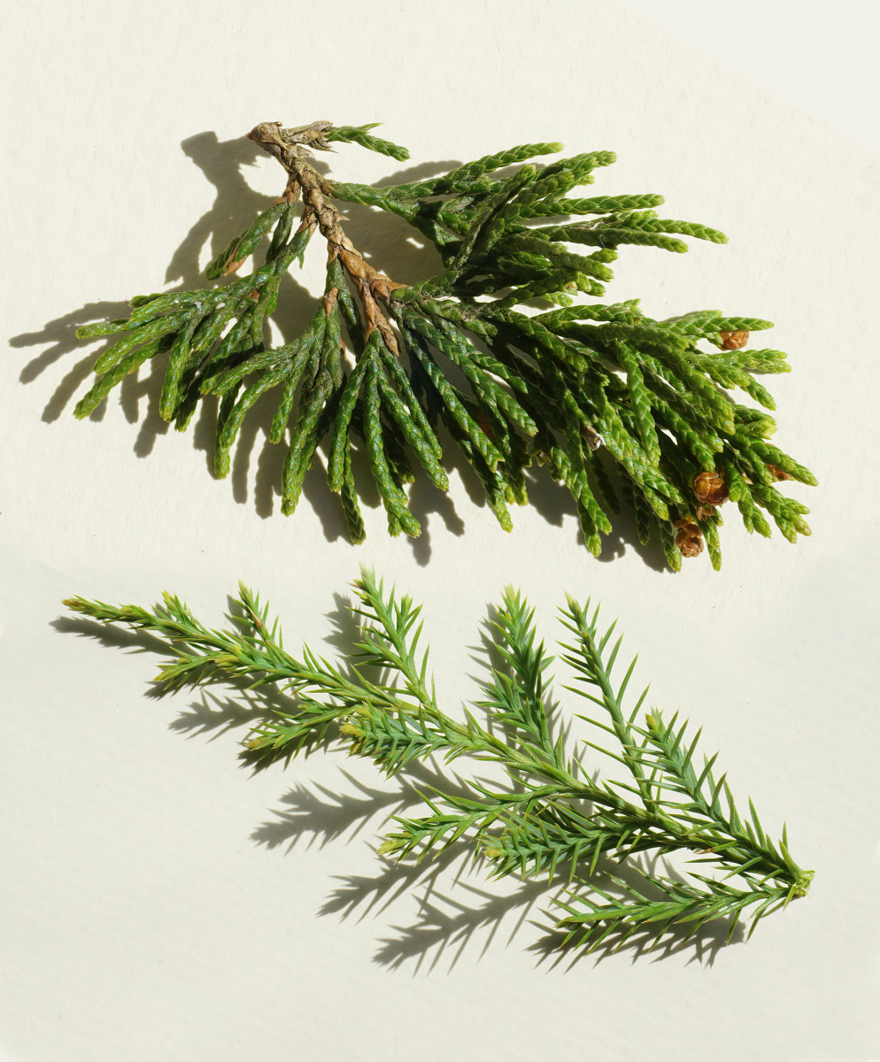 EASTERN RED CEDAR TREE BRANCHLETS Top: Cone Bearing;   Bottom: New Shoot