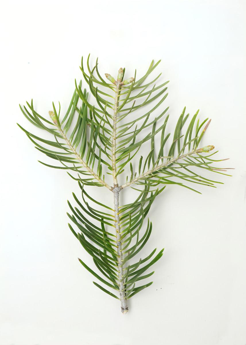 WHITE FIR TREE BRANCHLET