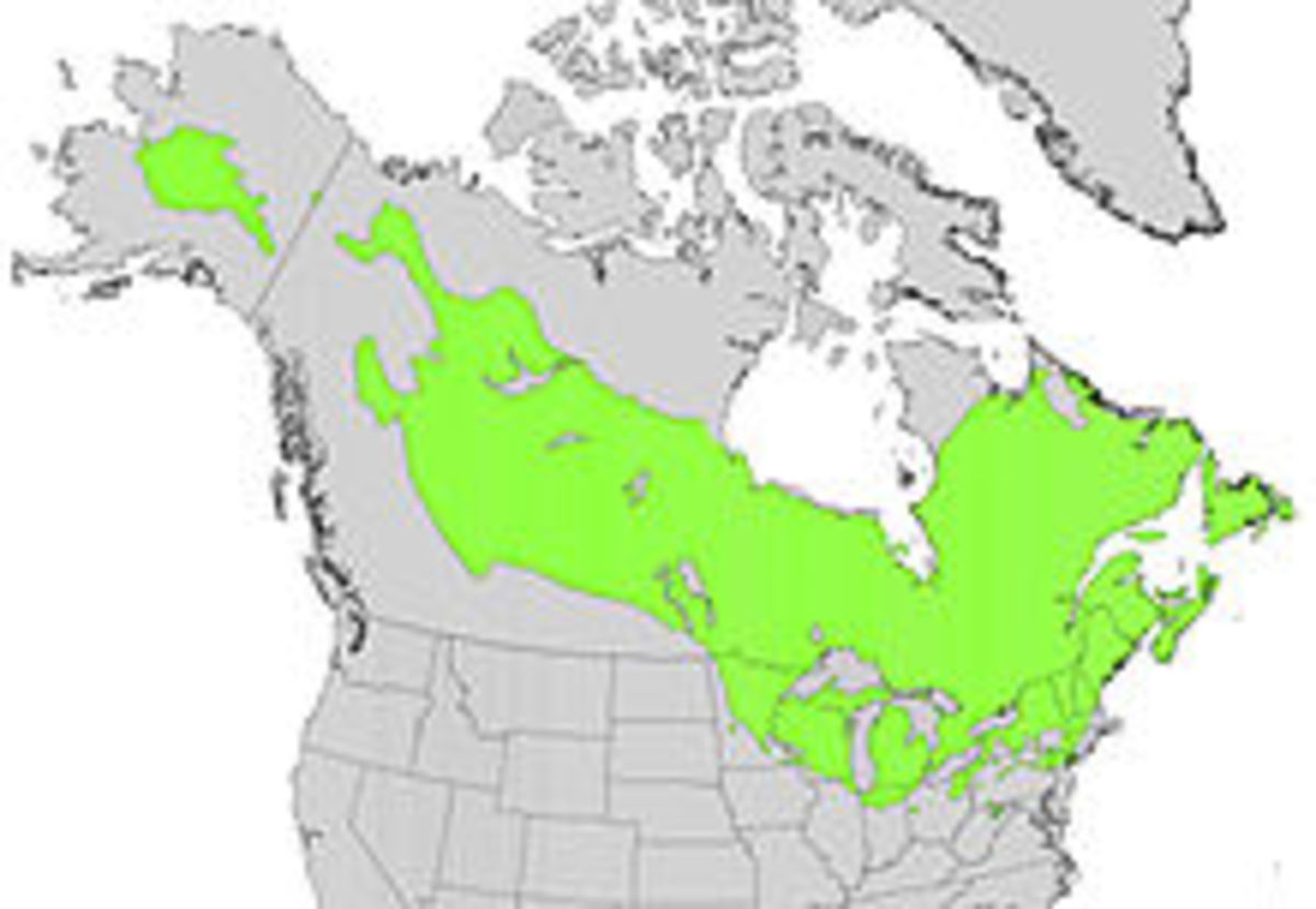 TAMARACK TREE / EASTERN OR AMERICAN LARCH TREE
