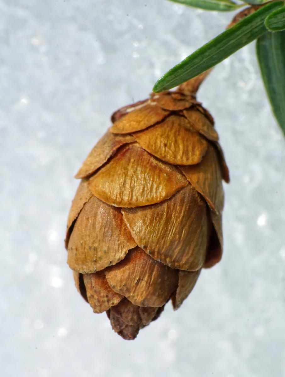 EASTERN HEMLOCK TREE SEED CONES (Female)