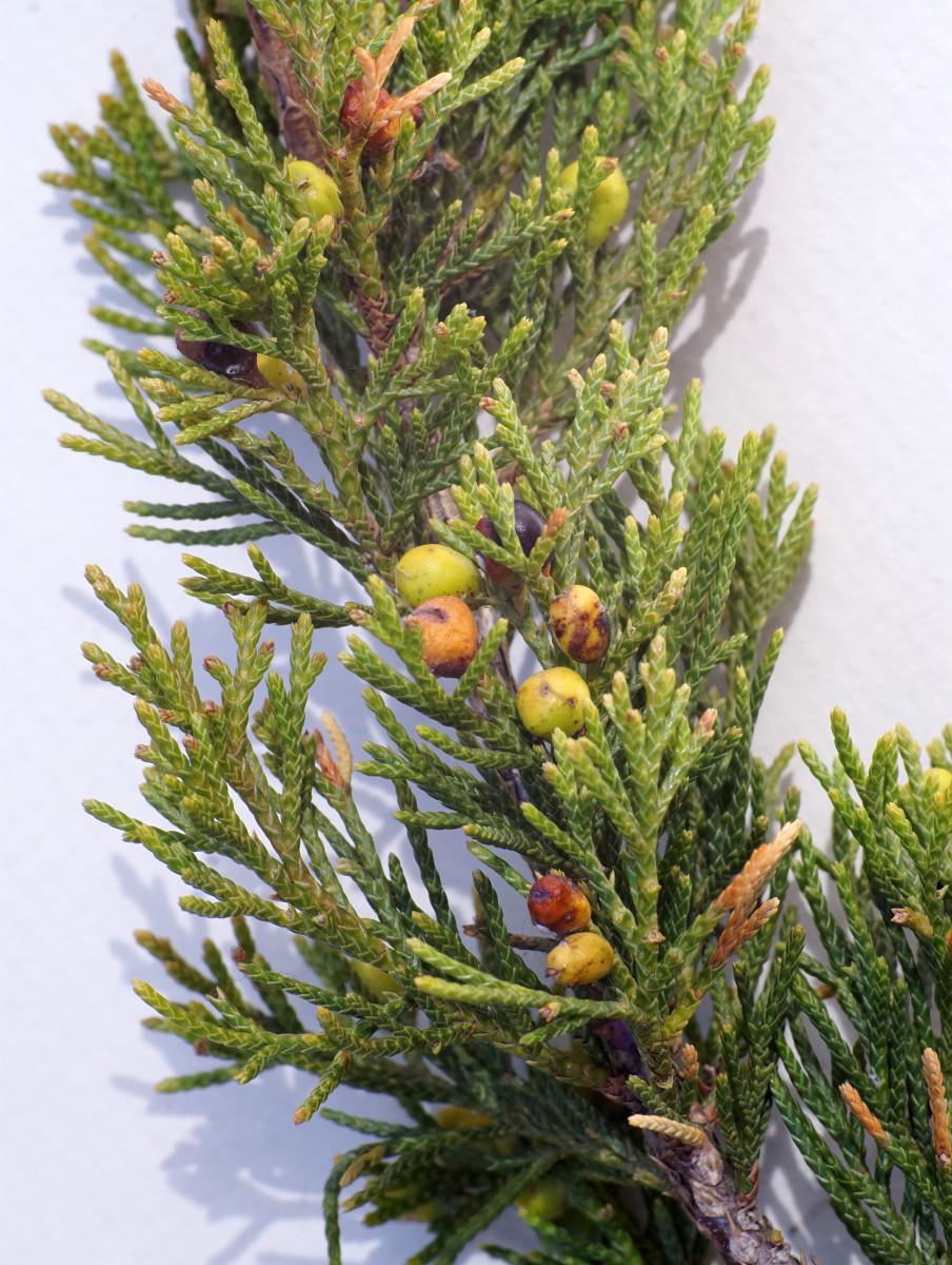 EASTERN RED CEDAR TREE CONES (Female)