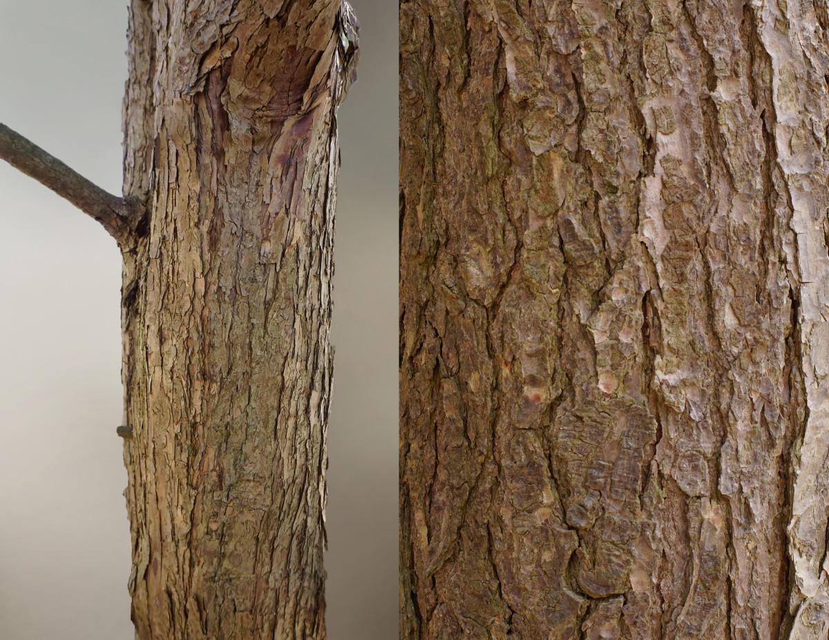 EASTERN HEMLOCK TREE BARK