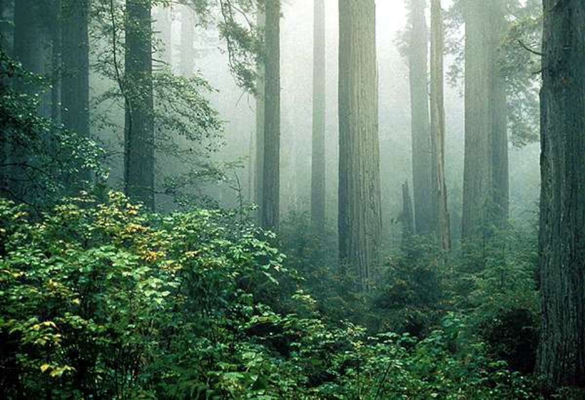 Redwood forest, shrouded in misty fog